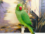Hand tame baby Indian ringneck green talking parrot