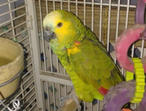 Affectionate Green Amazon Parrot For New Home!!!