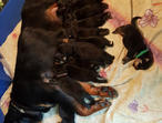 Quality Kc Rottweiler Pups Full European Lines