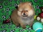 Fluffy and healthy teacup and toy Pomeranian Puppies About SMALL 9 lbs At Adult Age