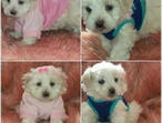 Show Quality Maltese Pups Tea Cup Puppies