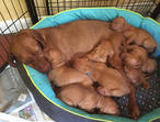 Stunning KC Registered Hungarian Vizsla Puppies