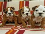 Wrinkle English Bulldog Puppies.