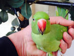 Tame baby Indian ringneck talking parrot