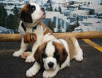Absolutely stunning St.Bernard Puppies Ready Now