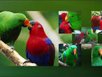 Eclectus Parrots For Sale Uk Only