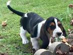 Quality Basset Hound puppies for sale - Only 4 left