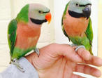 Baby hand tame moustached talking parrot
