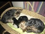 Yorkshire terrier puppies forsale