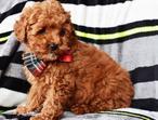 PRA Clear Bundles Of Joy KC Reg Poodle Puppies