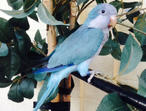 Hand tame baby Quaker talking parrot blue and green
