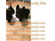 Samibeauti Scottish Terrier