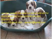 Unique Anointed  Litter Of Golden  Quality Cavalier King Charles Spaniels Puppy Available!