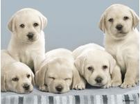 Pure Bred Labrador Puppies Free to Good Home