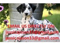 Gorgeous Dalmatian Puppies 4 Sale