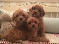 stunning litter of F1 type cavapoo puppies apricot in color 9 weeks old.
