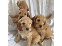 Beautiful quality cockapoo pups ready to go now