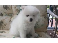 Gorgeous,nice quality Pomeranian puppies,registered,de-wormed.