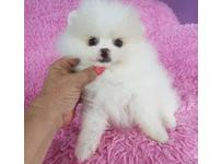 Full coated beautiful  white parti male and female pomeranian puppies Ready.