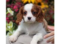 Beautiful King Charles Cavalier Spaniels For Sale