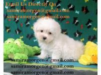 champion tiny little Maltese Pups