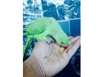 Extremely tame baby Indian ringneck talking parrot