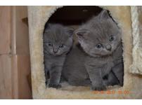 Blue british short hair kittens