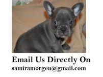 beautiful blue to fawn french bulldog puppies