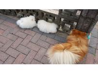 Purebred White Pomeranian Puppies Girls & Boys