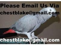 Amazing Hand Fed African Grey Parrots For Sale