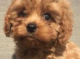 Find Cavapoo Dogs & Puppies For Sale in Carlisle | Freeads