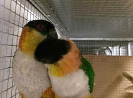 Caiques For Sale & Rehome in Cardiff | Find Birds For Sale & Rehome