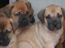 Boerboel Dogs & Puppies For Sale & Rehome in Birmingham