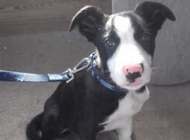 Border Collie Dogs & Puppies For Sale & Rehome in Colchester