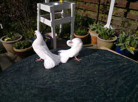 Baby Pigeons Fantail in Norwich on Freeads Classifieds ...
