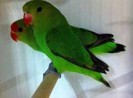 Rare abbie lovebirds