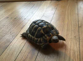 Tortoises For Sale and Rehome in Northern Ireland | Find ...