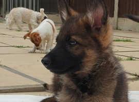 Stunning Vet checked German Shepherd pups