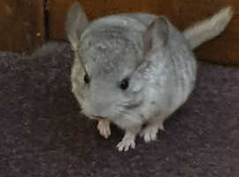 Chinchilla For Sale >> Baby Chinchilla For Sale Boy 100 Ready Now