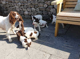 2 left, Ready to leave High Class KC English Springer Spaniel Puppies