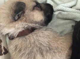 German Shepard puppies for sale