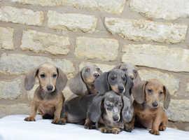 Miniature dachshund puppies ready now !!!