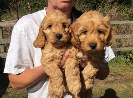 Stunning litter of F1 cockapoo puppies