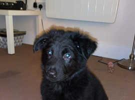 German Shepard puppy 9 weeks old