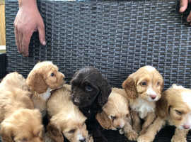 Cockapoo Dogs & Puppies For Sale & Rehome in Crawley | Find
