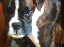 Boxer Dogs & Puppies For Sale & Rehome in Hampshire | Find