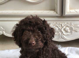 Cockapoo Dogs & Puppies For Sale & Rehome in Dagenham | Find Dogs