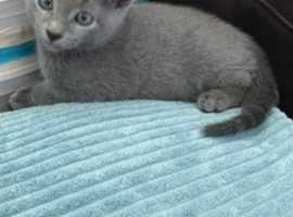Russian Blue Cats And Kittens For Sale And Rehome Uk Find Kittens And Cats For Sale And Rehome At Freeads Uk S 1 Classified Ads