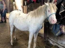 Appaloosa Horses For Sale in Wales | Find Horses & Ponies at