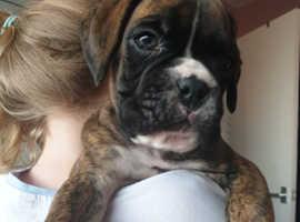 boxer puppy full pedigree KC